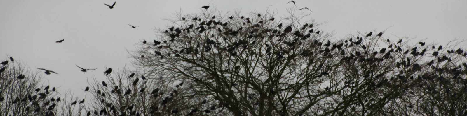 IMG_5675-1600x-crows